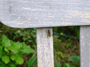 Wespen sammeln Cellulosepartikel am ergrauten Teakholz