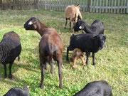 Ein Lamm hat sich verirrt oder geirrt...
