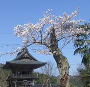 4月 境内の桜