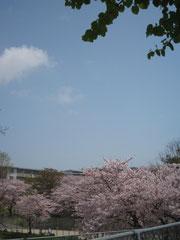 桜の季節の萩が丘公園