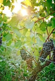 Pinot Noir Rusterberg  vor Lese 2012