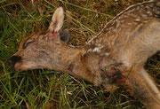 ein vom Hund zu Tode gebissenes Rehkitz; 23. Mai 2011