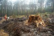 Logging Toolangi Forest