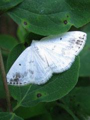 Schattenbinden Weißspanner (Lomographa temenata)