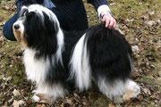 TTofDW_CAC_Tibet Terrier_Peter Künzel_Oelde