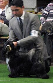 Tibet Terrier Oelde