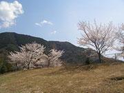 安入寺公園の桜