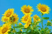 季節はずれの向日葵たち