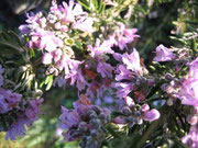 Rosmarinus officinalis'Major Pink'