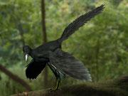 Bild eines Archaeopteryx