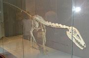 Skelett eines Liliensternus