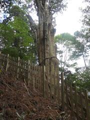 伐採されたご神木(神代杉)
