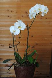 暑さに負けず咲いた胡蝶蘭