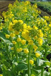 ミモレ農園 菜の花