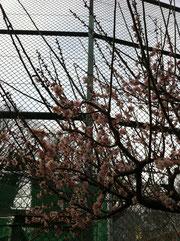 ▲誰もいない昼下がりの公園の梅