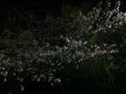 ▲幻想的な夜桜