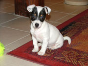 Gribouille, jack russel