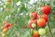 7月下旬のトマトの様子