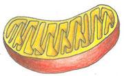 Mitochondrium | Copyright by Michaela Engelmann 2020