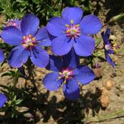 Gauchheil Pflanzen Algarve