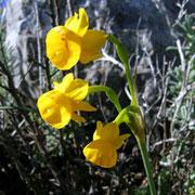 Narcissus-gaditanus endemische Narzissenart