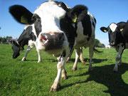 Kuh streckt Schnauze