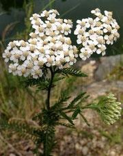 Achillea millefolium, Milenrama