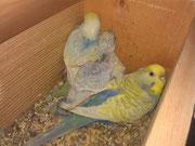 Hembra alas claras violeta de cobalto cara dorada doble factor, protegiendo a sus tres pequeños arcoiris.