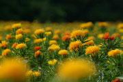 初夏の風に静かに揺れる紅の花