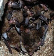 Gruppe von Bechstein-Fledermäusen in einem Fledermauskasten.