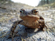 Fast immer in der zweiten Märzhälfte auf dem Weg zum Laichgewässer: Eine Erdkröte auf Wanderschaft.