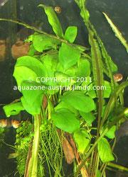Eine Anubias barteri var. nana, aufgebunden auf eine Mangrovenwurzel