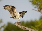 Mit etwas Glück lässt sich im Frühjahr ein Fischadler erspähen.   © T. Dove, NABU