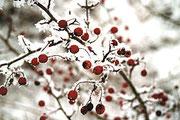 Hagebutte im Winter.   © P. Scheewe, NABU