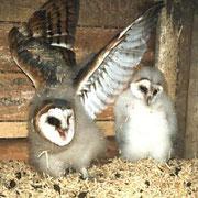 Schleiereulen in ihrem Nest. © NABU Lüneburg