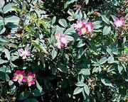 Blühende Hecht-Rose.   © P. Scheewe, NABU