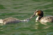Ein Haubentaucher-Weibchen füttert ihr Küken.  © T. Dove, NABU