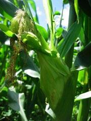 8月のお客様にお出しするトウモロコシ。もうすぐ収穫です!