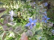 Borretsch-Pflanze mit Blüten