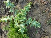 Mariendistelpflanze