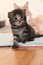 Norwegische Waldkatze Kätzchen