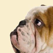 Kurznasen | Englische Bulldogge
