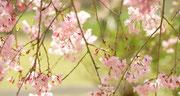 季節外れですが桜満開!イメージ