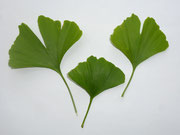 Ginkgoblätter (c) AvW