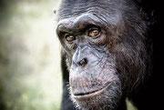 Питомник шимпанзе
