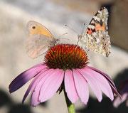 --- Papillons sur marguerite ---