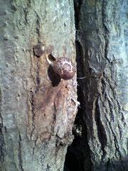 ほだ木にシイタケが出た