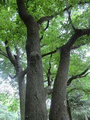 ▲都立野川公園のエゴノキ