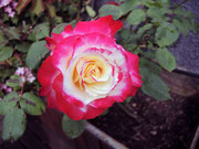 Rose à Mondésir (Mérignac 33)