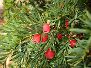 Yew - just one little nibble can be fatal